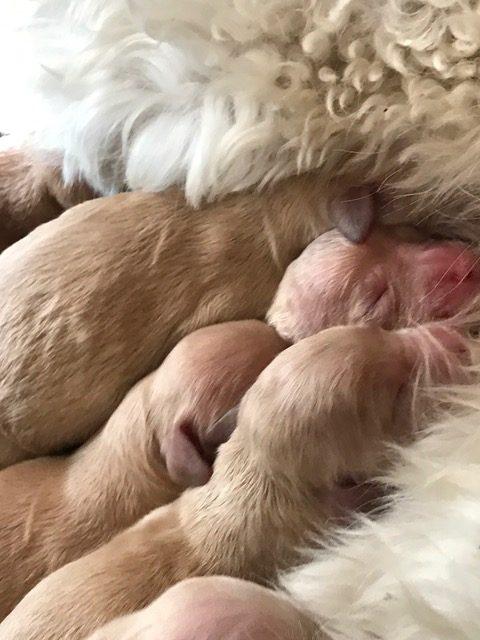 Goldendoodles South Carolina