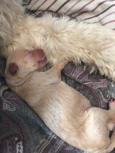 goldendoodle puppies south carolina