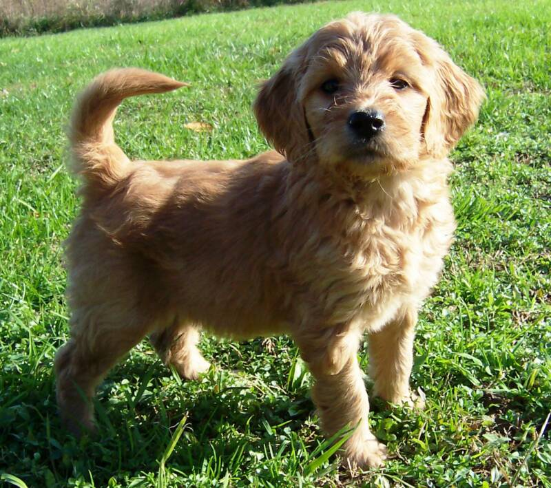Standard Doodle Pups Available Now! | Sweet Carolina Doodles