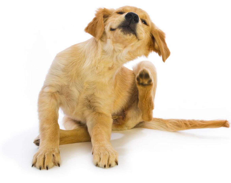 itching dog