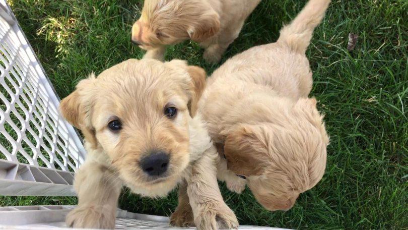 Goldendoodle-Puppies